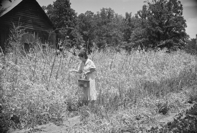 Rehabilitation-client-picking-English-peas-on-farm-near-Batesville-Arkansas-e1409454179239